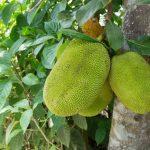 20kg超にもなる巨大果実「ジャックフルーツ」の栄養と食べ方